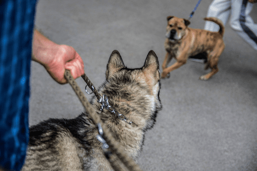 Aggressive Dogs On Leashes Stock Photo